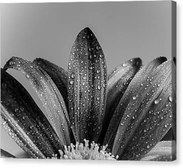 Daisy Dew B/w Canvas Print