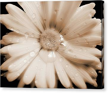 Daisy Dream Raindrops Sepia Canvas Print by Jennie Marie Schell