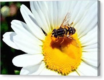 Daisy Flower With Fly Canvas Print