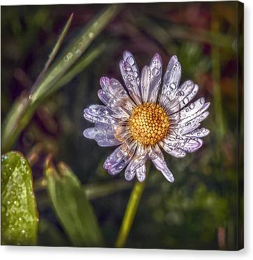 Canvas Print featuring the photograph Daisy by Hanny Heim