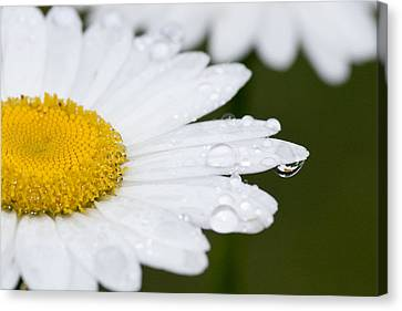 Daisy In A Drop Canvas Print