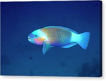Daisy Parrotfish Canvas Print by Georgette Douwma