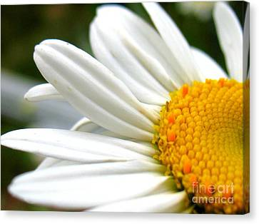 Daisy Canvas Print by Patti Whitten