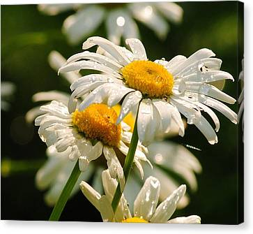 Canvas Print featuring the photograph Daisy by Paul Noble