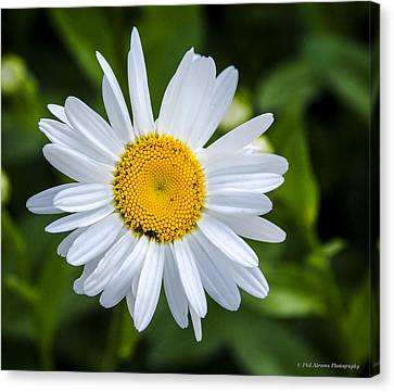 Canvas Print featuring the photograph Daisy by Phil Abrams