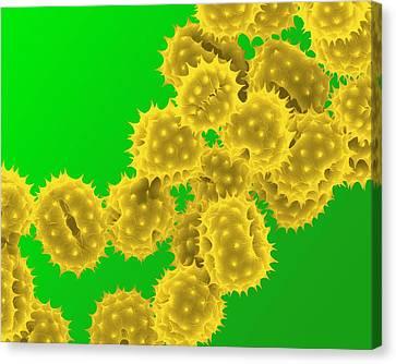 Sem Canvas Print - Daisy Pollen by Clouds Hill Imaging Ltd
