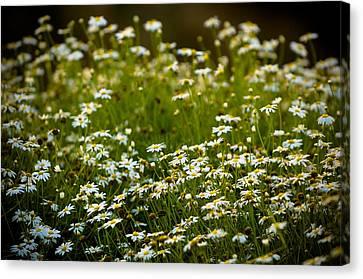 Daisies Canvas Print - Daisy Sunrise by Sebastian Musial