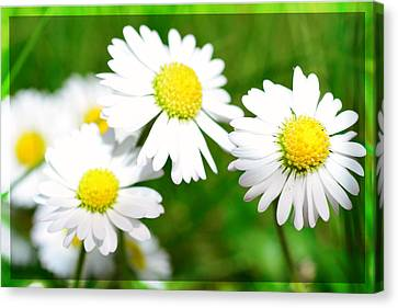 Daisy Canvas Print by Tommytechno Sweden