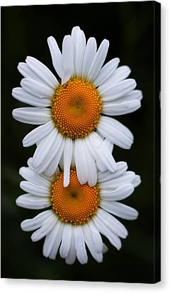 Canvas Print featuring the photograph Daisy Twins by Haren Images- Kriss Haren