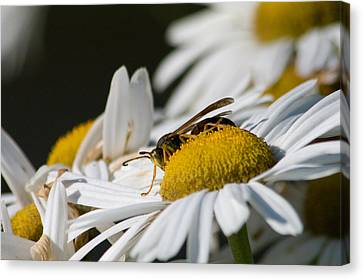 Canvas Print featuring the photograph Daisy With Friend by Greg Graham