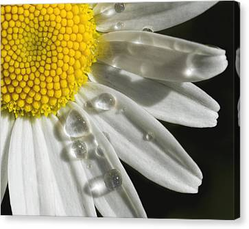 Canvas Print featuring the photograph Daisy With Raindrops by Rob Graham