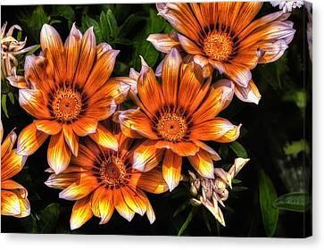 Daisy Wonder Canvas Print by John Swartz