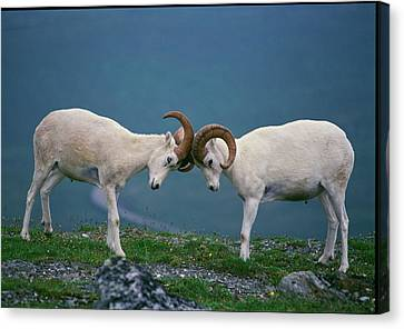 Dall Rams (ovis Dalli Canvas Print