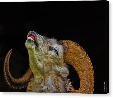 Dall Sheep Canvas Print by Ken Morris