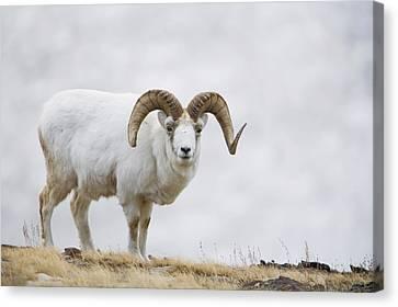 Dall Sheep Ram On Sheep Mountain Canvas Print