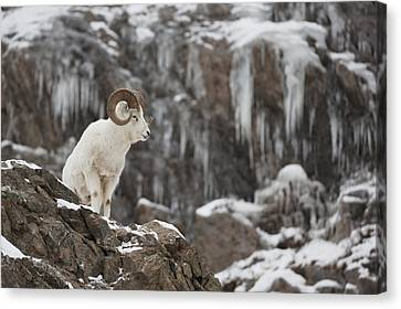 Dall Sheep Ram Stands On A Rocky Cliff Canvas Print
