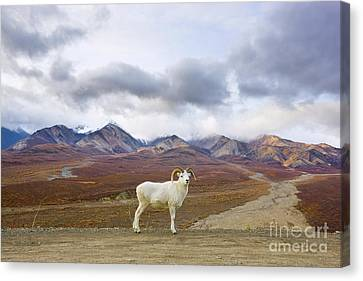 Dalls Sheep Ram Denali National Park Canvas Print