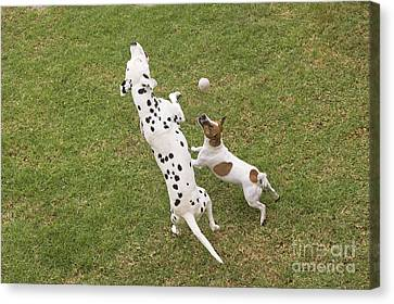 Dalmatian & Jack Russell Canvas Print