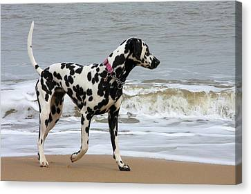 Dalmatian By The Sea Canvas Print by Gordon Auld