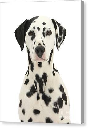 Dalmatian Dog Canvas Print by Mark Taylor