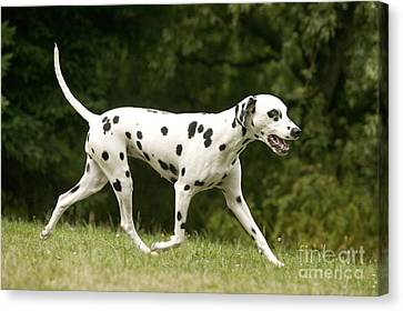 Dalmatian Running Canvas Print by Jean-Michel Labat