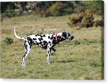 Dalmation Pretending To Be A Pointer Canvas Print by Gordon Auld