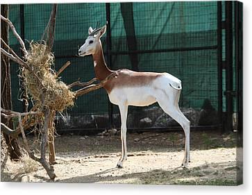 Dama Gazelle - National Zoo - 01135 Canvas Print