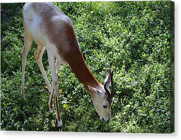 Dama Gazelle - National Zoo - 01137 Canvas Print