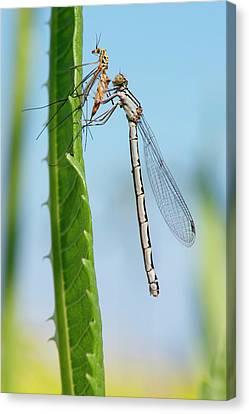 Damselfly Feeding On A Crane Fly Canvas Print by Dr. John Brackenbury