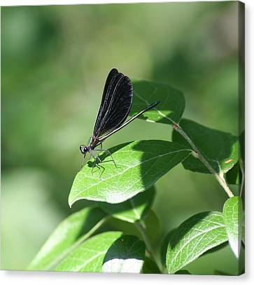 Canvas Print featuring the photograph Damselfly  by Karen Silvestri