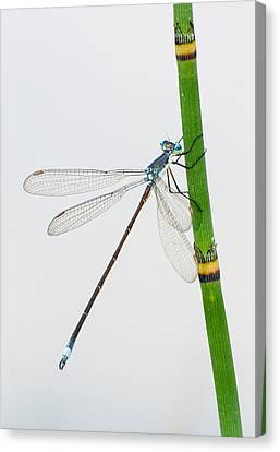 Damselfly On Horsetail Canvas Print