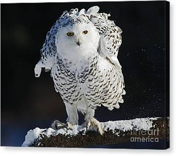 Shelley Myke Canvas Print - Dance Of Glory - Snowy Owl by Inspired Nature Photography Fine Art Photography