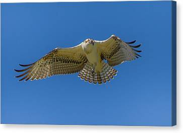 Dance Of Osprey Canvas Print by Laura Bentley