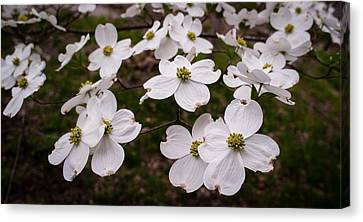 Canvas Print featuring the photograph Dance Of The Dogwoods by Wayne Meyer