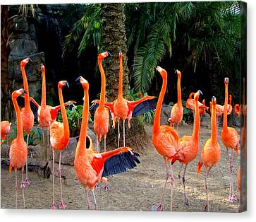 Canvas Print featuring the photograph Dance Of The Flamingos by Phyllis Beiser