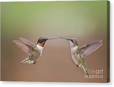 Dance Of The Hummingbirds Canvas Print