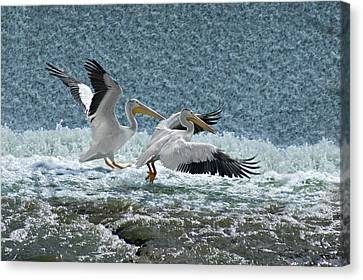 Dance Of The Pelicans Canvas Print by Judy  Johnson