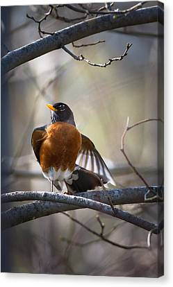 Dance Of The Robin Canvas Print by Annette Hugen