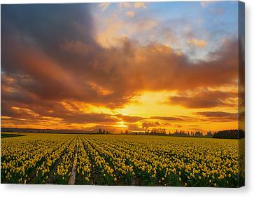 Dances With The Daffodils Canvas Print by Ryan Manuel