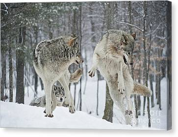 Canvas Print featuring the photograph Dances With Wolves by Wolves Only