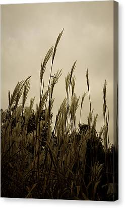 Dancing Grass Canvas Print by Tgchan