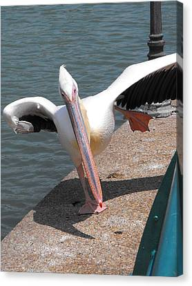 Dancing Pelican Canvas Print by Lionel Gaffen