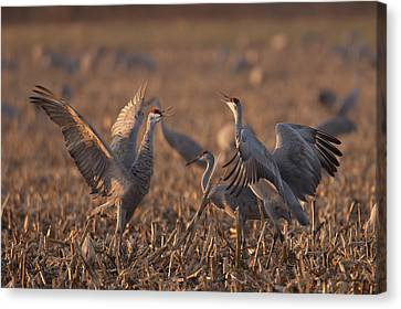 Dancing Sandhills Canvas Print