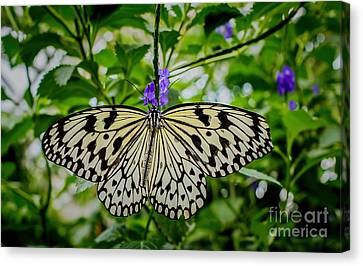 Dancing With Butterflies Canvas Print by Jon Burch Photography