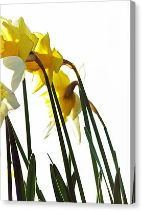 Dancing With The Daffodils Canvas Print by Pamela Patch