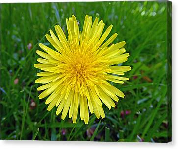 Canvas Print featuring the photograph Dandelion And Spider by Laurie Tsemak