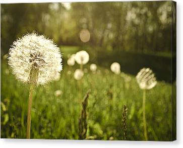 Dandelion Basking In The Sun Canvas Print