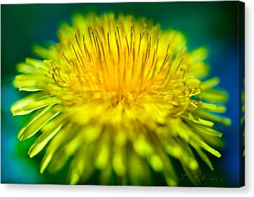Dandelion Bloom  Canvas Print