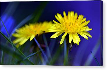 Dandelion Blues Canvas Print