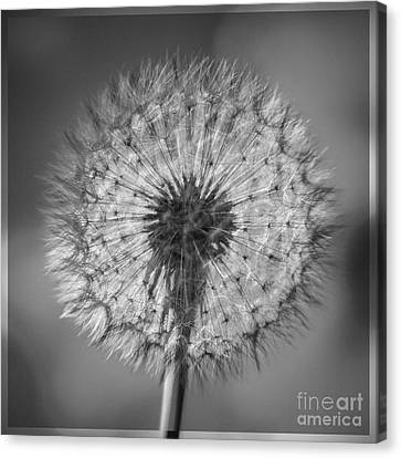 Dandelion Canvas Print by Bryan Freeman